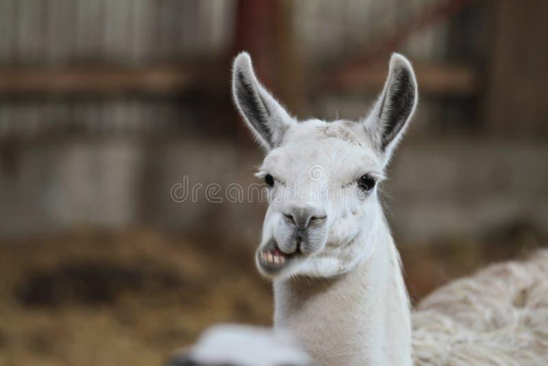 Lama stock image