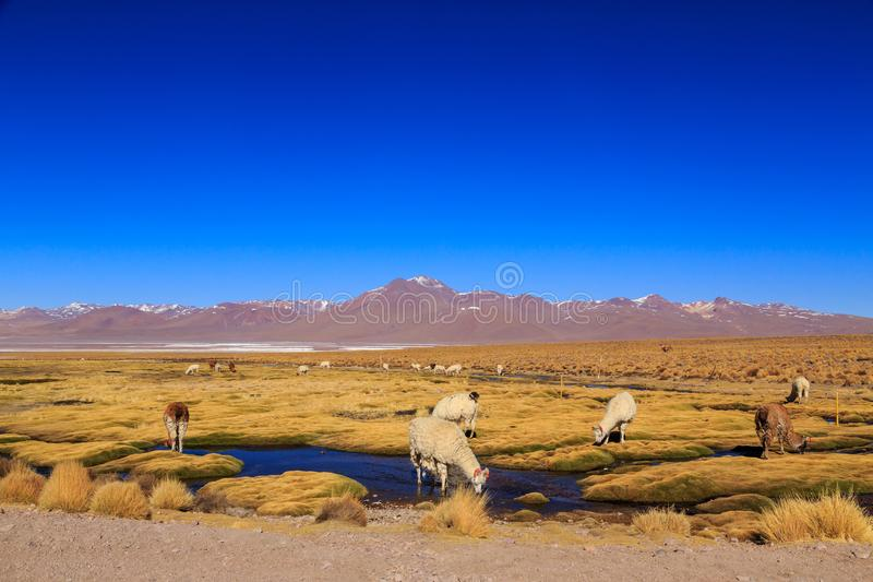 Lamaanseende i en härlig söder - amerikanskt altiplanolandskap arkivbilder