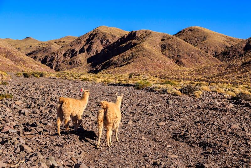 Lamaanseende i en härlig söder - amerikanskt landskap royaltyfri foto