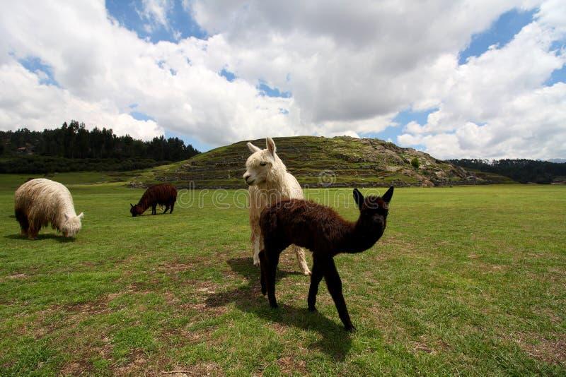 Lamaflocken på Saqsaywaman fördärvar, Peru arkivfoton