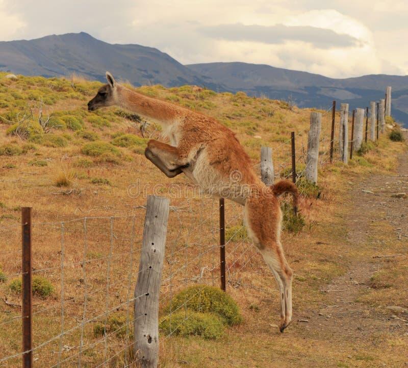 LamaguanicoeGuanaco bara som hoppar i Torres Del Paine National Park, Patagonia, Chile royaltyfri foto
