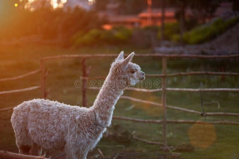 Lamahusdjur i lantgård royaltyfria foton