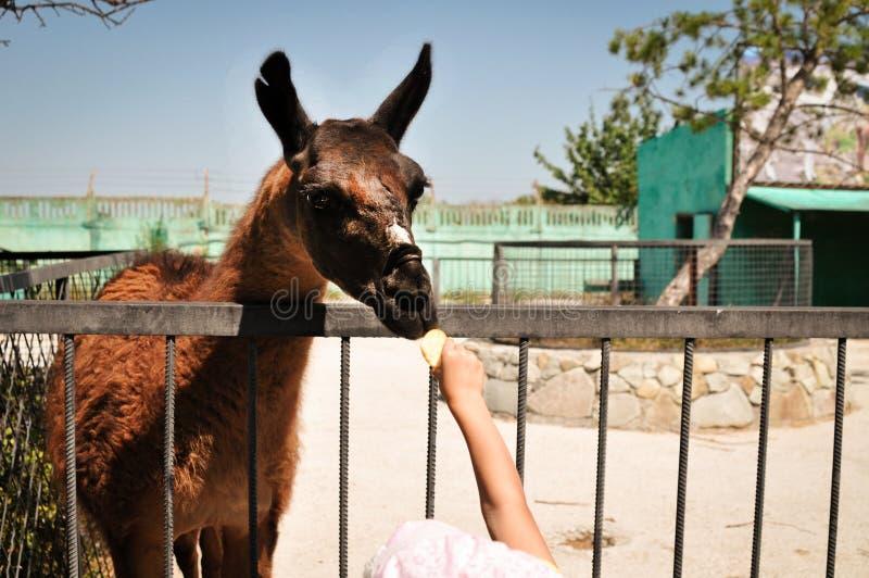 Laman äter mat från händerna av en flicka på zoo djur lantgård Barnet matar laman på den älsklings- zoo royaltyfria foton
