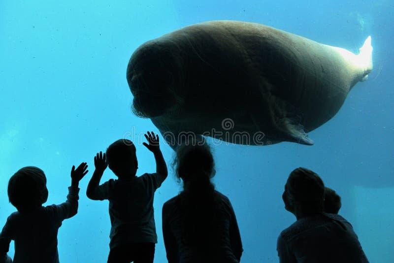 Lamantin étonnant et géant dans la grande piscine d'eau bleue devant des enfants image libre de droits