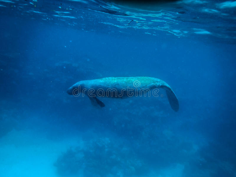 Lamantin sous-marin en mer des Caraïbes - matoir de Caye, Belize images libres de droits