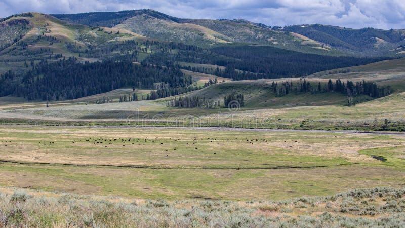 Lamar Valley Bison Herd fotos de stock