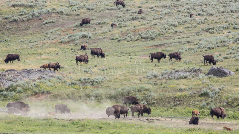 Lamar Valley Bison Herd royaltyfri bild