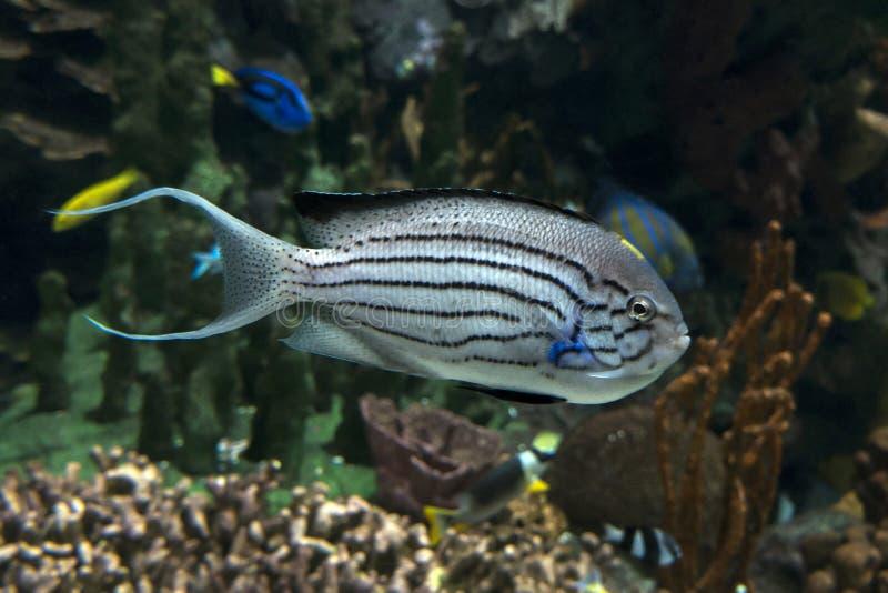 Lamarck ` s Angelfish, Genicanthus lamarck - tropikalny morze i ocean łowimy zdjęcie royalty free