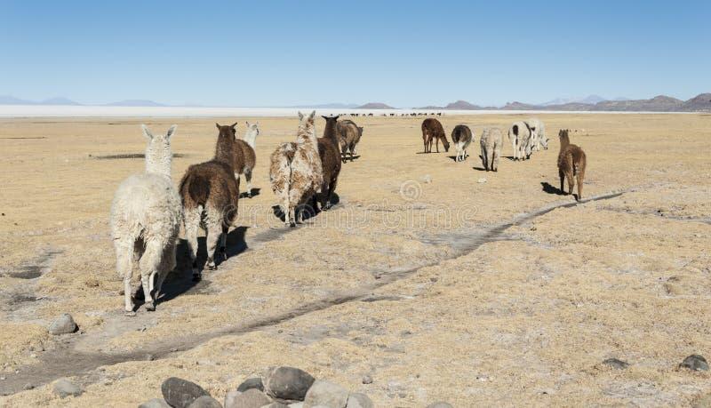 Lamas à proximité de village de Tahua en Bolivie - Salar de Uyuni à l'arrière-plan images stock