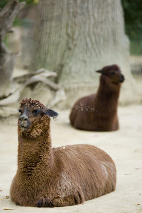 Lamas imagem de stock
