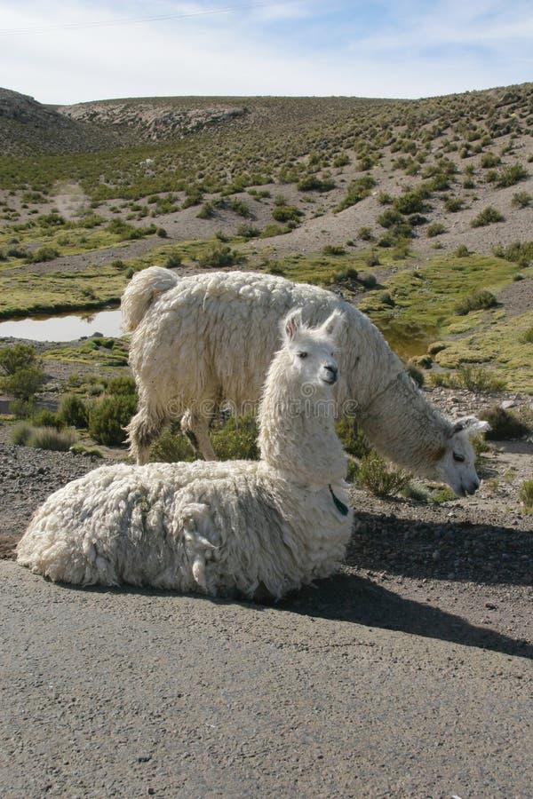Lamas images libres de droits