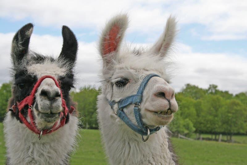 Lamas lizenzfreies stockfoto