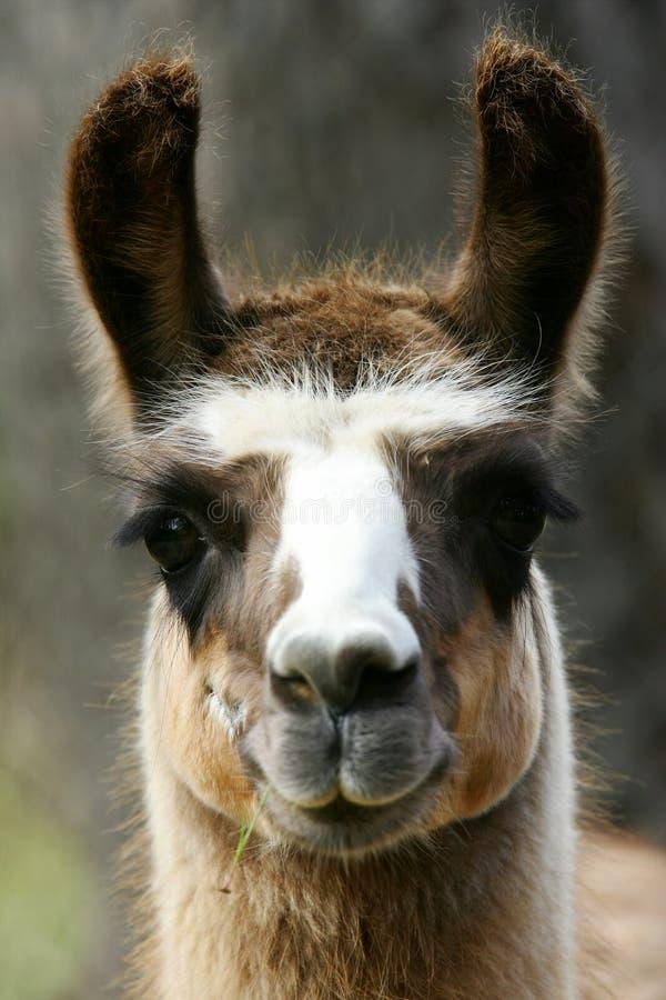 Download Lamas stock photo. Image of american, llamas, long, animal - 7322404