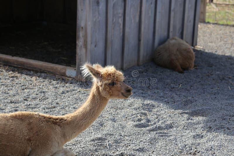 Lamas, Alpaka stockfotografie