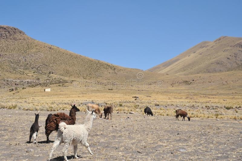 lamas altiplano bolivië stock afbeelding