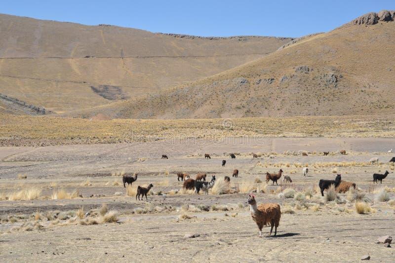 lamas altiplano bolivië stock fotografie