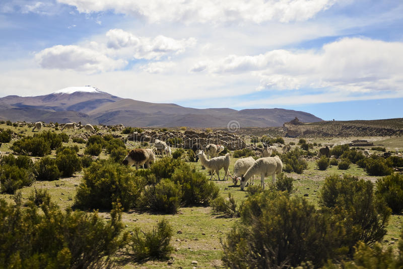 Lamas in the Andes. Grazing Lamas in the Andes royalty free stock photo
