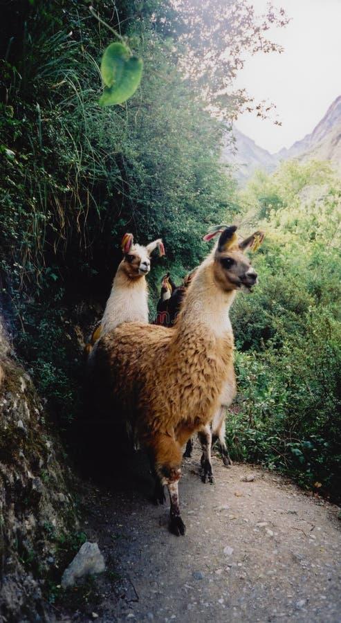 Lamas auf dem Inka schleppen machu picchu Peru stockfotos