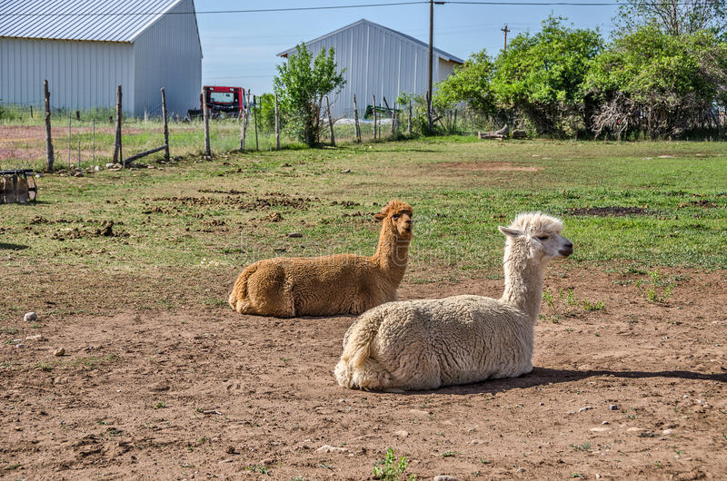 Lamas beaux photo libre de droits
