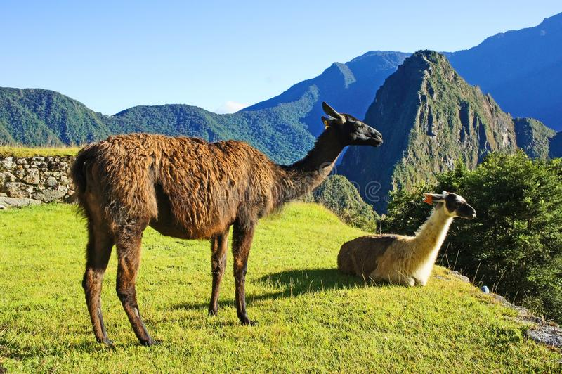 Lamas chez Machu Picchu photo stock