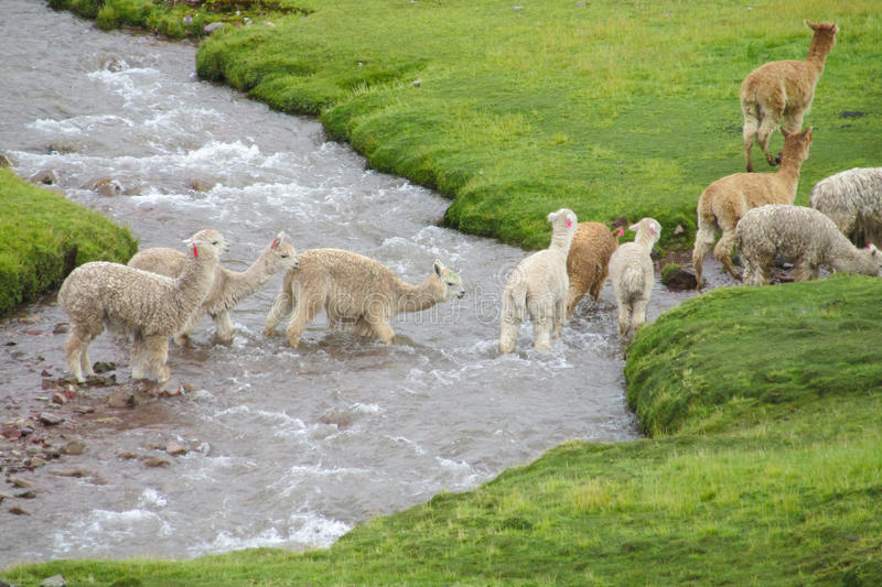 Lamas crossing river. The llama, lama and alpaca domesticated South American camelid animals on the green meadow in the Andes mountains. Furry llama on green stock photo