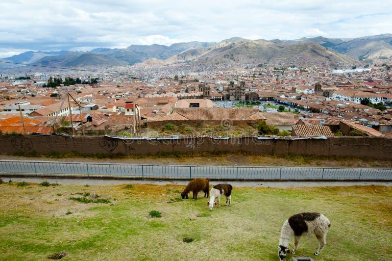 Lamas dans la ville de Cuzco images stock