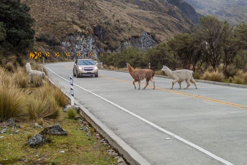 Lamas de croisement images stock