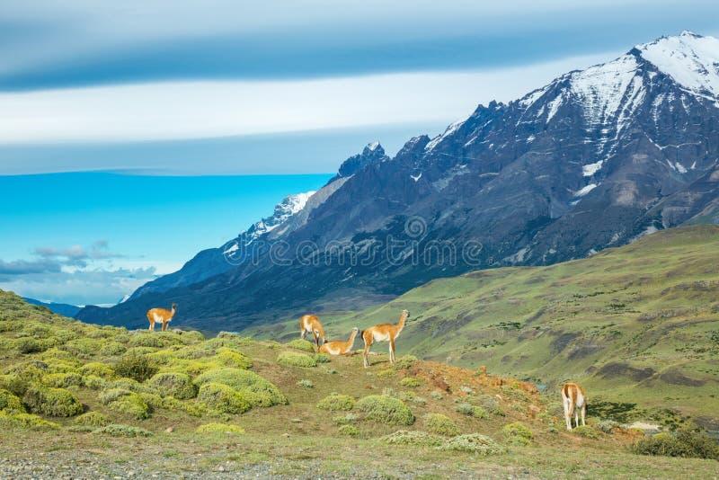 Lamas de Guanaco en montagnes de Torres del Paine de parc national, Patagonia, Chili, Amérique photographie stock libre de droits