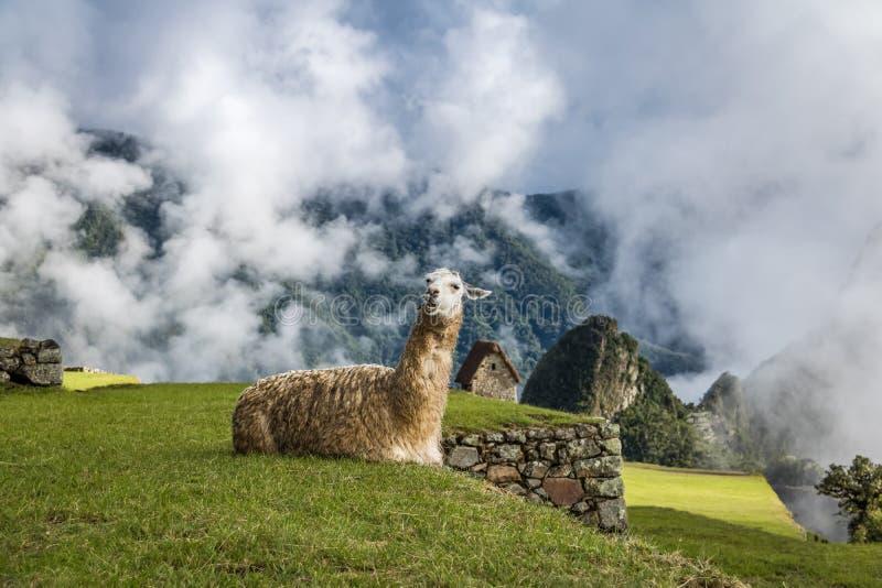 Lamas em Machu Picchu Inca Ruins - vale sagrado, Peru fotografia de stock royalty free