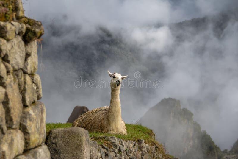 Lamas em Machu Picchu Inca Ruins - vale sagrado, Peru imagem de stock royalty free