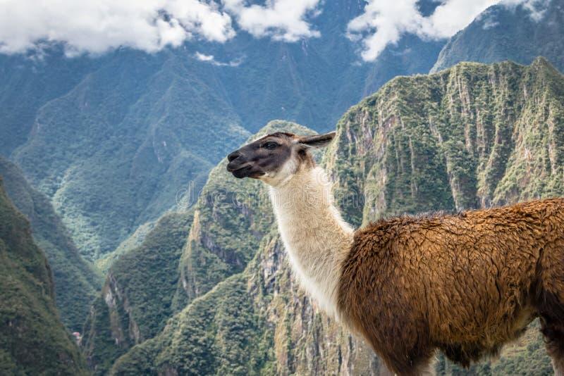 Lamas em Machu Picchu Inca Ruins - vale sagrado, Peru imagens de stock royalty free