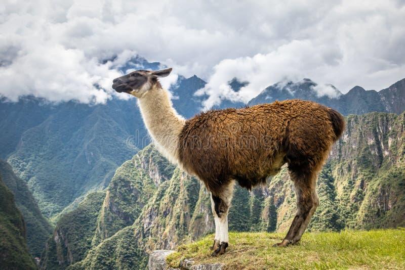 Lamas em Machu Picchu Inca Ruins - vale sagrado, Peru foto de stock