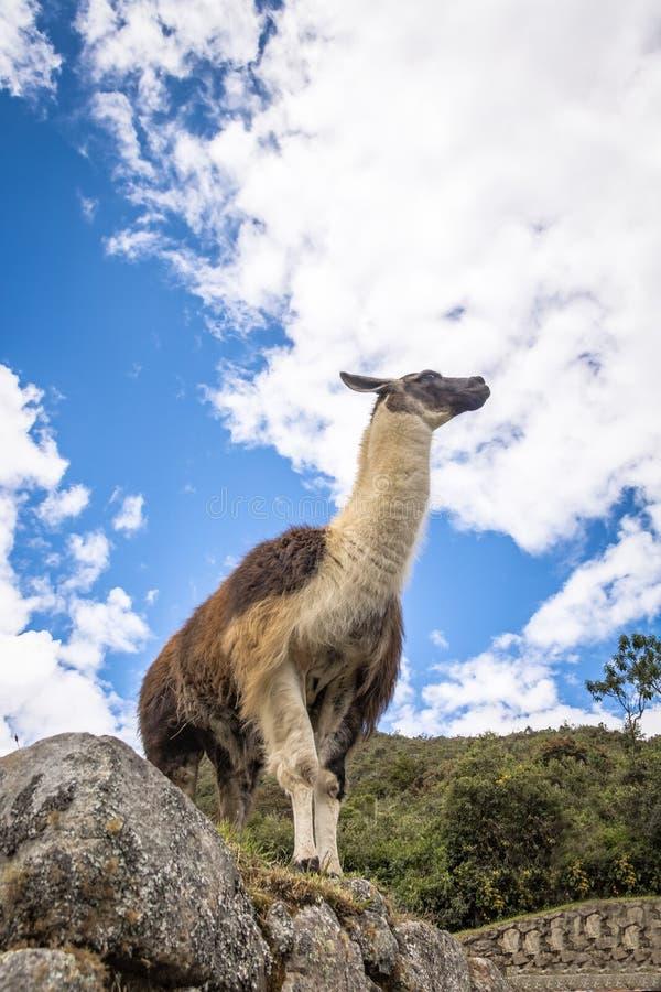 Lamas em Machu Picchu Inca Ruins - vale sagrado, Peru fotos de stock