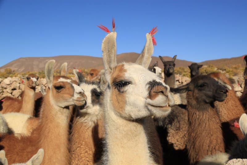 Lamas em montanhas de Andes, Bolívia imagens de stock