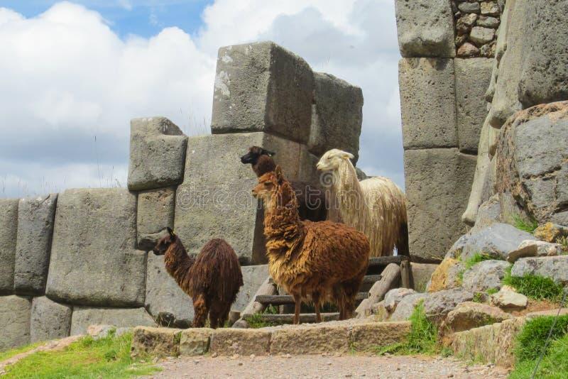Lamas em ruínas do inca fotografia de stock