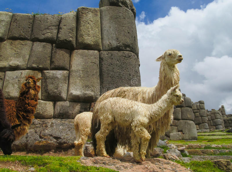 Lamas em ruínas do inca fotos de stock royalty free