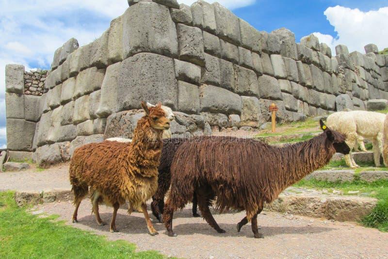 Lamas em ruínas do inca foto de stock royalty free