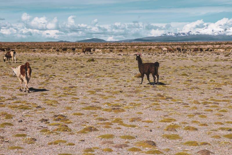 Lamas em Salar de Uyuni em Bolívia fotografia de stock