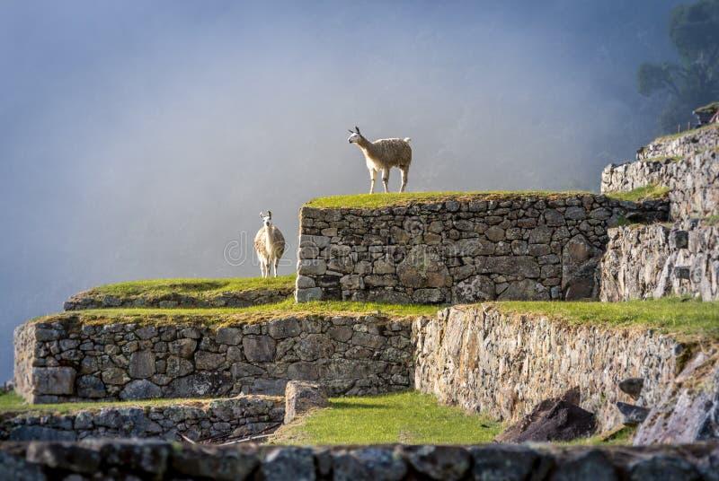 Lamas em terraços de Machu Picchu fotografia de stock