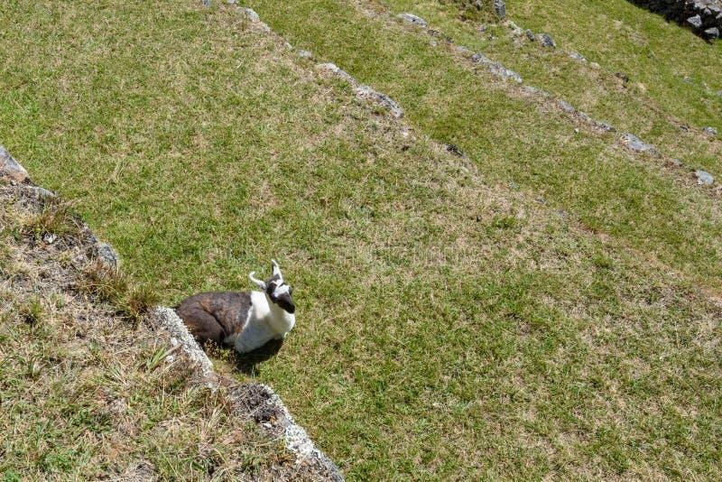 Lamas em terraços em Machu Picchu imagem de stock royalty free