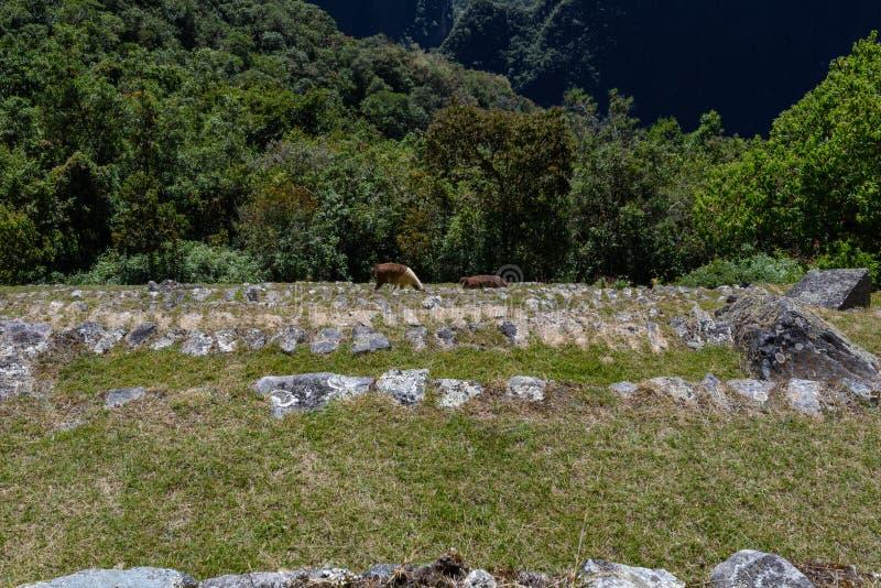 Lamas em terraços em Machu Picchu foto de stock