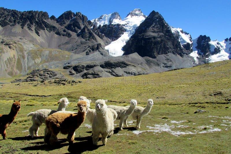 Lamas en las montañas de los Andes en el altiplano de Bolivia fotos de archivo
