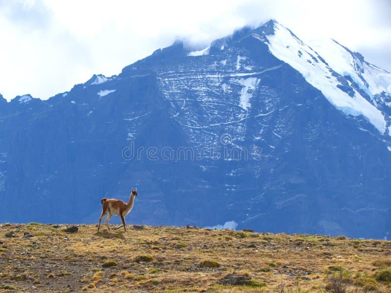 Lamas en piment 3 image libre de droits