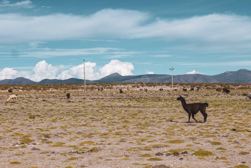 Lamas en Salar de Uyuni en Bolivie image libre de droits
