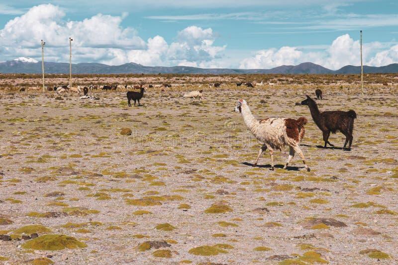 Lamas en Salar de Uyuni en Bolivie images stock