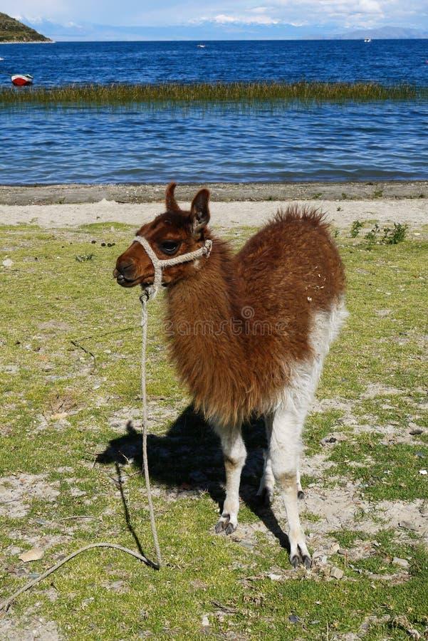 Lamas en Salar de Uyuni en Bolivie photographie stock