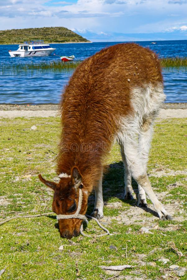 Lamas en Salar de Uyuni en Bolivie photographie stock libre de droits