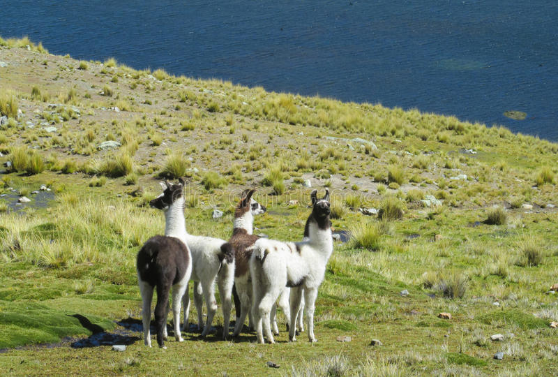 Lamas on green meadow near the lake. Furry lama and alpaca on green meadow at the altiplano mountains in Peru and Bolivia royalty free stock photo