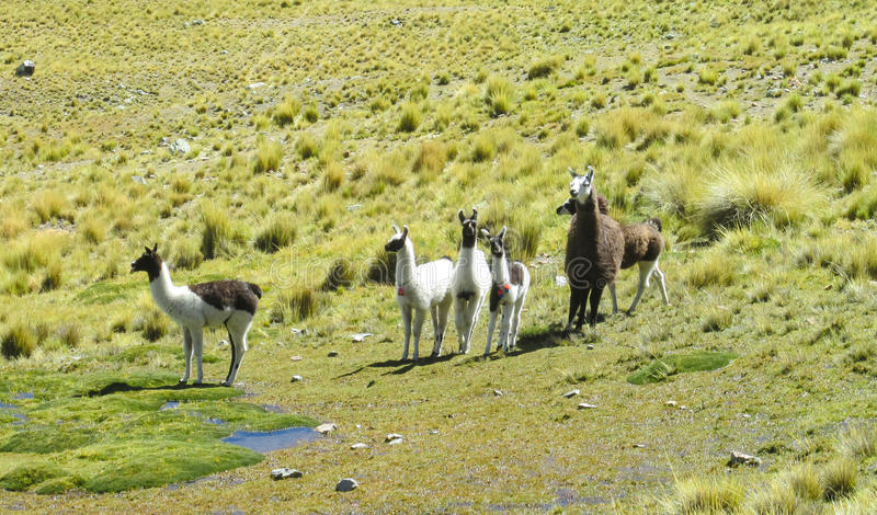 Lamas on green meadow near the lake. Furry lama and alpaca on green meadow at the altiplano mountains in Peru and Bolivia royalty free stock images