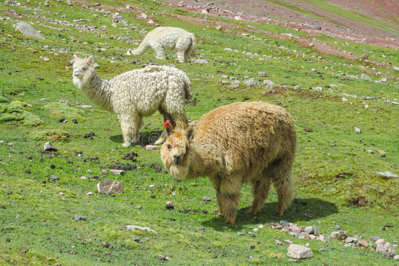 Lamas on green mountain meadow. Lama at the altiplano mountains green grass. Furry white and brown lamas stock photo